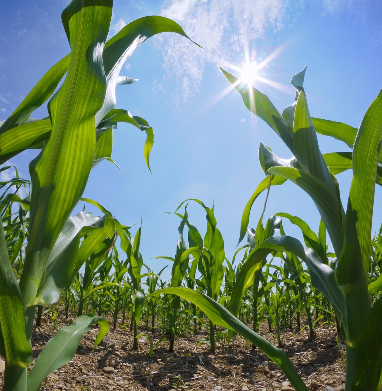 corn in field crop
